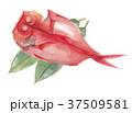 金目鯛 鯛 魚のイラスト 37509581