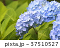 アジサイ 紫陽花 梅雨の写真 37510527