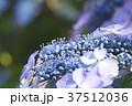 アジサイ 紫陽花 梅雨の写真 37512036