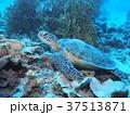 アオウミガメ 一休み 海の写真 37513871