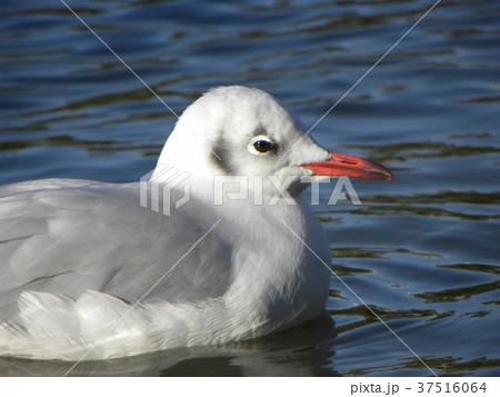 稲毛海浜公園の池に来た冬の渡り鳥ユリカモメ 37516064