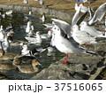 稲毛海浜公園の池に来た冬の渡り鳥ユリカモメとオナガガモ 37516065