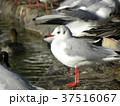 稲毛海浜公園の池に来た冬の渡り鳥ユリカモメ 37516067