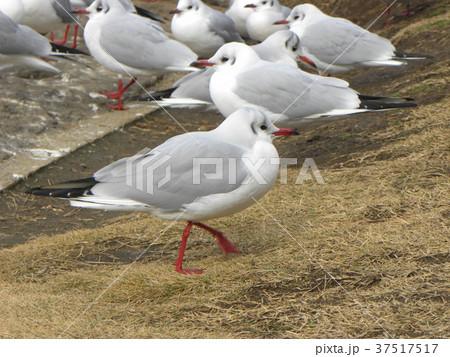 稲毛海浜公園の池に来た冬の渡り鳥ユリカモメ 37517517