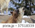 動物 オオカミ シンリンオオカミの写真 37518339