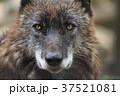 動物 哺乳類 イヌ科の写真 37521081