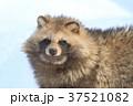 タヌキ 37521082