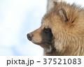 動物 哺乳類 イヌ科の写真 37521083