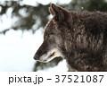 動物 哺乳類 イヌ科の写真 37521087