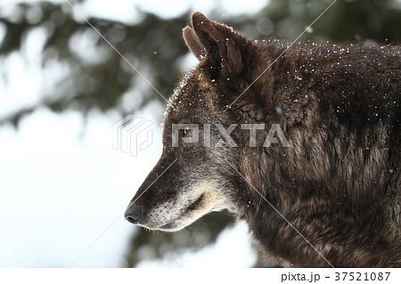 シンリンオオカミ 37521087