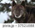 動物 哺乳類 イヌ科の写真 37521088