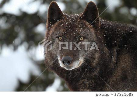 シンリンオオカミ 37521088