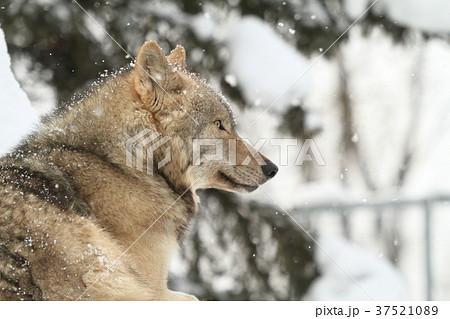 シンリンオオカミ 37521089