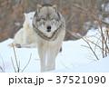 動物 哺乳類 イヌ科の写真 37521090