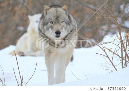 シンリンオオカミ 37521090