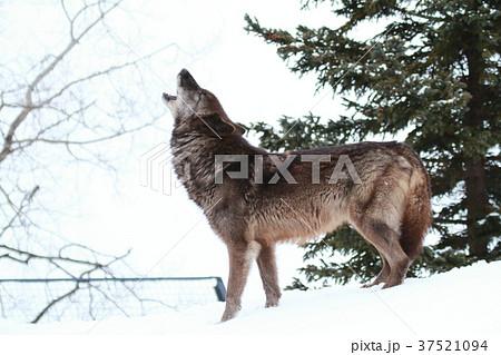 シンリンオオカミ 37521094