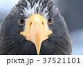 オオワシ 37521101