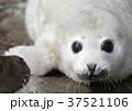ゴマフアザラシの赤ちゃん 37521106