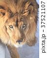 ライオン 37521107