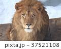 ライオン 37521108