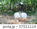 タンチョウヅルの親子 37521110