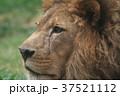 ライオン 37521112