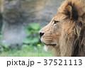ライオン 37521113