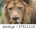 ライオン 37521114