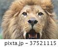 ライオン 37521115