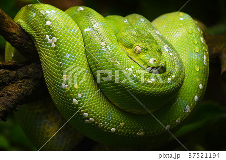 Green tree python profile portrait close up 37521194