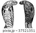 コブラ ヘビ 蛇のイラスト 37521351