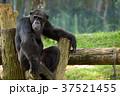 チンパンジー さる サルの写真 37521455