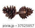 コーン 松の実 火口丘の写真 37525057