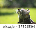 春の猫 37526594