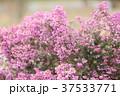 自然 植物 花の写真 37533771