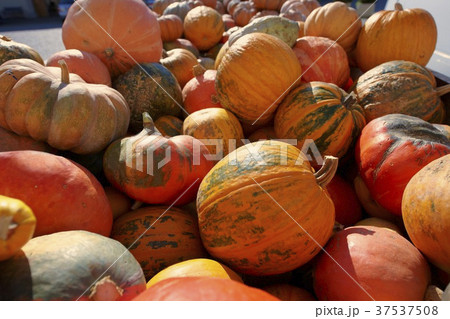 Lots of giant orange pumpkins 37537508