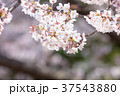 桜 ソメイヨシノ 春の花の写真 37543880