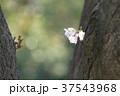 桜 ピンク色 バックグラウンドの写真 37543968