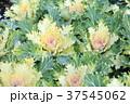 自然 植物 花の写真 37545062