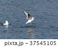 野鳥 鳥 海鳥の写真 37545105
