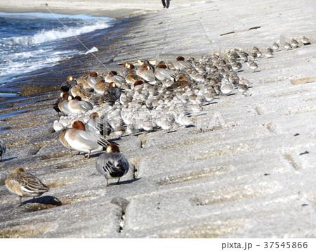 検見川浜の岸壁で一休みのヒドリガモとミユビシギ 37545866
