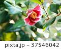 ツバキの花 隠れ磯 37546042