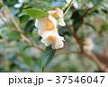 ツバキの花 昭和侘助 37546047