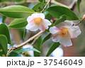 ツバキの花 昭和侘助 37546049