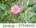 ツバキの花 唐錦 37546445