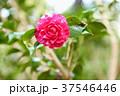ツバキの花 菊冬至 37546446