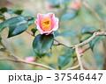 ツバキの花 覆輪秋の山 37546447