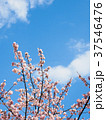 さくら 春 桜の写真 37546476