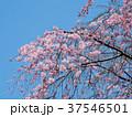 さくら 春 桜の写真 37546501