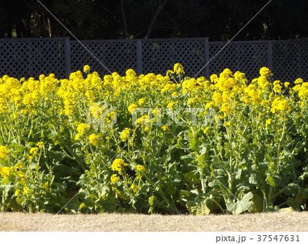 12月に咲き始めた早咲きナバナ満開です 37547631
